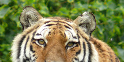 Demand Better Treatment of Tigers in Chinese Tourist Farms and the Wild