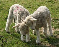 Tell Australia to Stop the Cruel Mistreatment of Sheep!