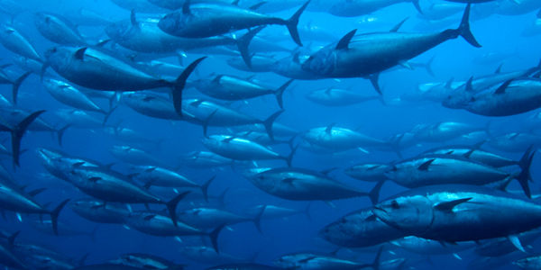 Tell Amazon: Stop Selling Bluefin Tuna!