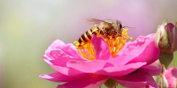 Canada, Ban Honey Bee Killing Pesticides Now!