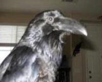 Stop California Fish and Game from taking my raven!