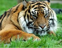 Stop Safari Hunting Tigers in Africa
