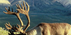 Help Win More Protections for Mountain Caribou
