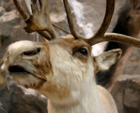 Protect Canada's Woodland Caribou
