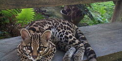 Please Save the Margay from the Illegal Pet Trade