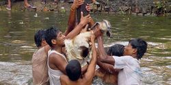 End The Barbaric Live Torture Of The Khokana Goat-Nepal