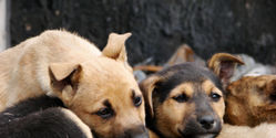 Stop Thailand's Illegal Dog Trade!