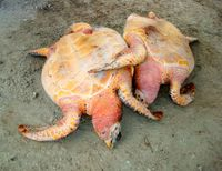 Stop the Legal Harvesting of Endangered Sea Turtles in Grenada