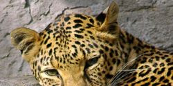 Stop Illegal Use of Leopard Skins for Religious Ceremonies