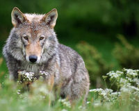 Obama- DO NOT Delist the Wyoming Wolf!