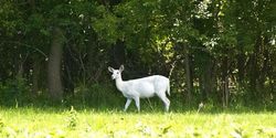 Save the Seneca White Deer!