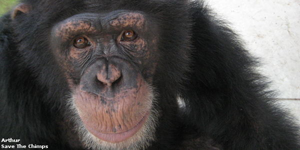 Act Now to Save the Chimps