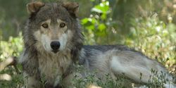 Outcry for Wolves Protection in California