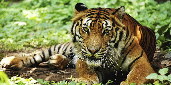 Protect Tigers: Keep Them Out Of American Back Yards