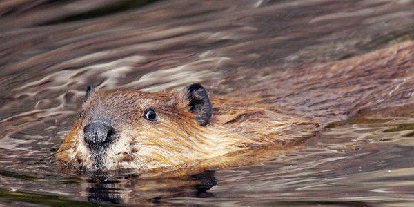 Beaver, Care2