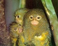 Save the endangered Pygmy Marmoset