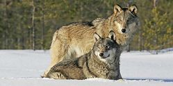 Keep Wolves Protected Under the ESA