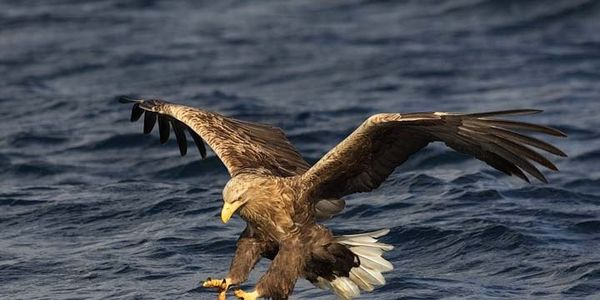 White Tailed Eagles Need Our Help