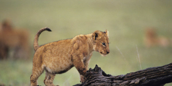 Tell This Danish Zoo: Don't Kill a Lion Cub for No Reason and then Dissect it Publicly!