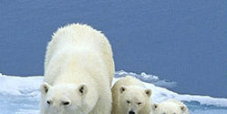 Protect Polar Bear Seas from Oil Drilling
