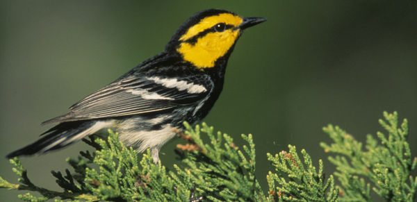Save the Golden-Cheeked Warbler!