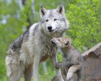 Against barbarous shooting of wolves in Yakutia !