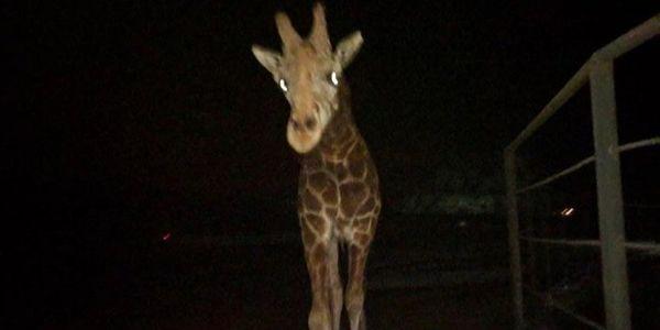 Stanley the giraffe at Malibu Wine Safaris