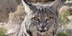 Outlaw Bobcat Trapping in California!