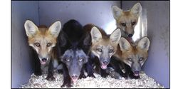 Stop the Cruelty of Fox and Coyote Penning