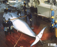Japan Killing More Whales - Stop the Hunt!