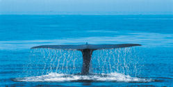 Australia - Protect Blue Whales from Big Oil
