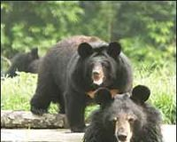 Ban Bear Bile Farming... NOW...