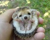 Legalize Hedgehog Ownership in Georgia