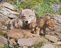 Protect The Gray Wolf From Extinction