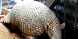 SAVE THE ENDANGERED GIANT ARMADILLO