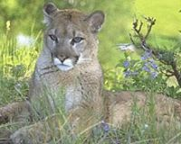 Save Oregon's Cougars