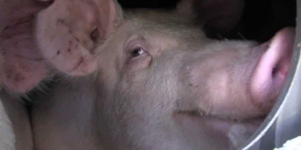 Demand That Canada Stop Transporting Pigs During Extreme Weather