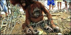 Save Orangutans from Barbaric Cruelty and Abuse