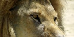 List the African Lion as an Endangered Species