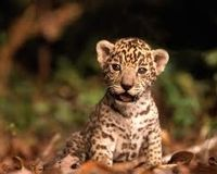 Don't make jaguars Endangered