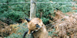 Ban Wildlife Snares In England and Wales