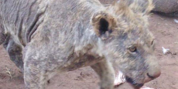 Mangy lion found in Pieneka Farm