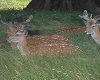 Stop the Deer Cull in the Royal Parks.