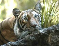 Thailand- Don't Destroy Tiger Habitat