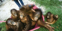 Protect the Orangutan and the Paradise Forests of Indonesia