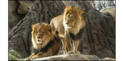U.S.- Ban the Import of Lion Trophies