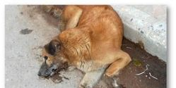 Stop the Poisoning of Stray Dogs in Bhaktapur, Nepal