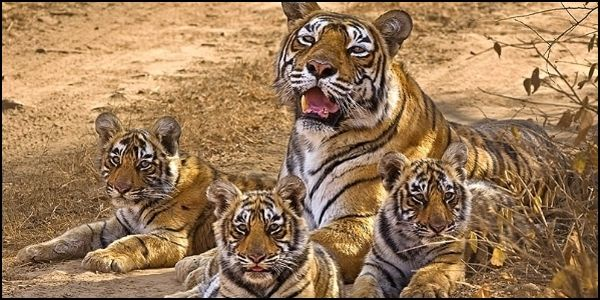 Protect Tiger Reserves from Exotic Tree Plantations in India