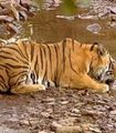 Provide Water to Tigers on Reserves in India - The Petition Site