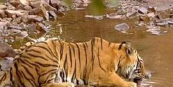 Provide Water to Tigers on Reserves in India